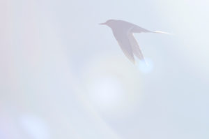 Tern in the back light, flying