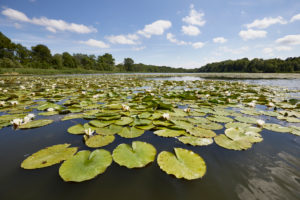 Germany, Mecklenburg-West Pomerania, landscape, water lilies, lake