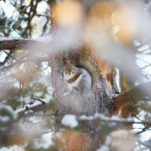 Red squirrel, Sciurus vulgaris, Sciurus vulgaris varius, Finland, winter