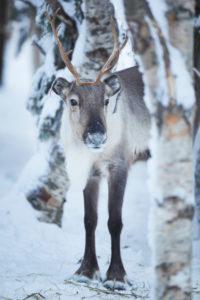 Finland, Lapland, reindeer, winter