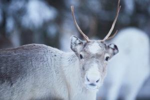 Finnland, Lappland, Rentier, Winter