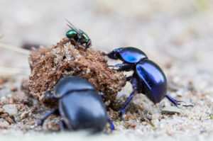 Dung beetle, Geotrupida, two, droppings