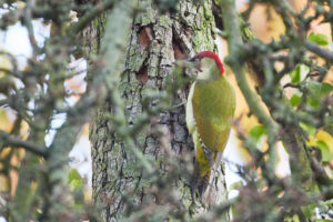 Green woodpecker, Picus viridis