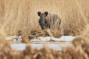 Wildschwein, Sus scrofa