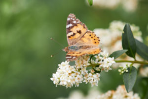 Painted Lady, Vanessa cardui
