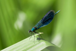 banded dragonfly, Calopteryx splendens