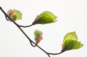 Beech, leaves, develop