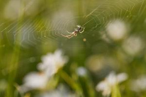 Spinne, Spinnennetz, Wiese