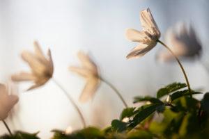 Wood anemone, Anemone nemorosa