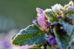 Taubnessel, Lamium, Raureif, Frost, Blüte