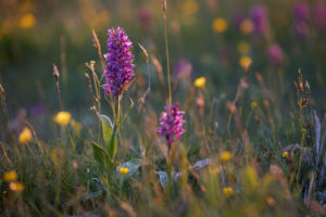 Broad-leaved orchid, Dactylorhiza majalis, meadow