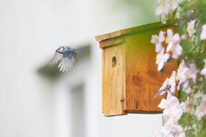 Blue tit, Parus caeruleus, nesting box