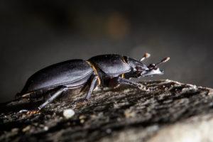 Beetles, beamed shrubs, Dorcus parallelipipedus