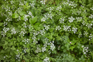 Blütenteppich, weiß, grün