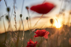 Poppy, corn poppy, blossom