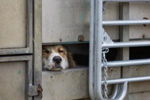Dog, guardian dog