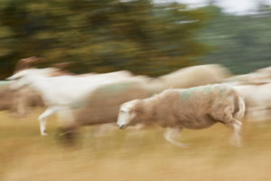 Sheep, run, exercise