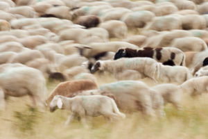 Sheep, flock, exercise