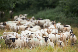 Sheep, flock, pull