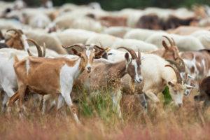 Ziegen, Herde