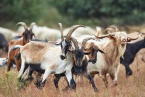 Goats, scramble