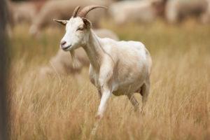 Goat, white