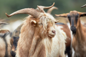 Goat, long-haired, portrait