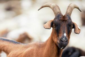 Goat, portrait