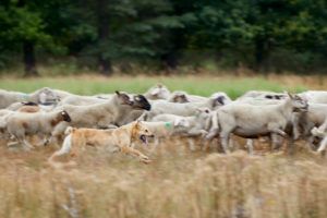 Dog, German shepherd, herding dog, brown, run