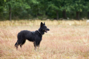 Dog, German shepherd, herding dog, black