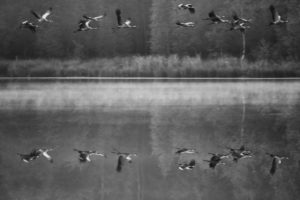 Cranes, Grus gus, in flight, water, reflection