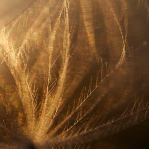 Kratzdistel, Samenschirmchen, Detail