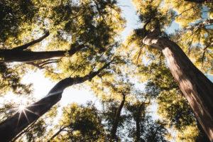 Eukalyptusbäume bei Palau, Sardinien