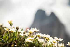 Italy, Dolomites, Hochpustertal Valley, Naturpark Drei Zinnen (Three Peaks of Lavaredo Nature Park), Alpine flowers