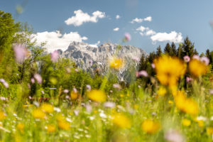 Flower meadow in front of Karwendel, Bavaria