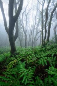 Lorbeerwald und Farne auf Teneriffa im Nebel