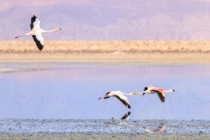Andean Flamingo (Phoenicoparrus andinus), Sector Soncor, Reserva Nacional los Flamencos, Los Flamencos National Reserve, Atacama Desert, Chile