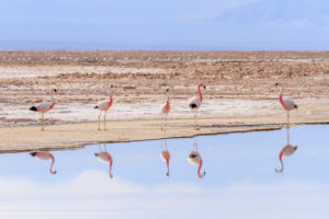 Andenflamingo (Phoenicoparrus andinus),  Sector Soncor, Reserva Nacional los Flamencos, Nationalreservat Los Flamencos, Atacamawüste, Chile