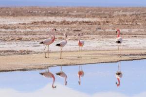 Andean Flamingo (Phoenicoparrus andinus),Sector Soncor,National Flamenco Reservation,Los Flamencos National Reserve,Atacama Desert,Chile