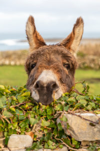 Donkey, Inishmore, Aran Islands, County Galway, Connacht Province, Republic of Ireland