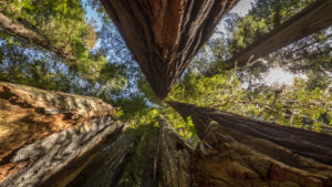 USA, California, Redwood National Park, Coast Redwood, Sequoia sempervirens