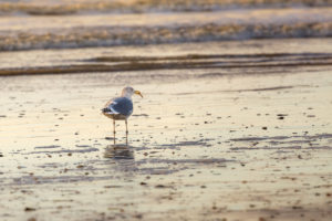 Seagull with food at the beach