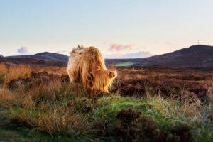 A highland cattle near Durness