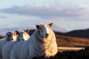 A few sheeps on the highway A836 in the scottish highlands