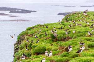 Puffin colony on Lunga Island