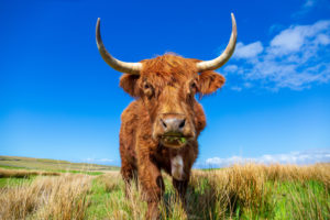 Highland cattle on a meadow near Culkein, Stoer peninsula