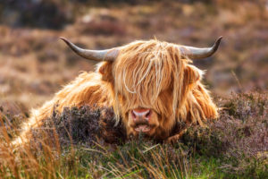 Highland cattle on the Applecross peninsula