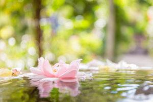 Floating flower in the rose garden of the former Franciscan monastery in Ystad, Europe, Sweden,