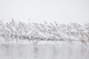 Europe, Germany, Lower Saxony, Otterndorf. A flock of wintering Sanderlinge (Calidris alba) flies excitedly over the Elbe, which is barely visible in the dense sea mist.