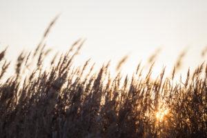 Europe, Germany, Lower Saxony, Otterndorf. Behind the coastal reeds, the sun slowly rises.